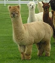 Alpaca Pregnancy Calculator