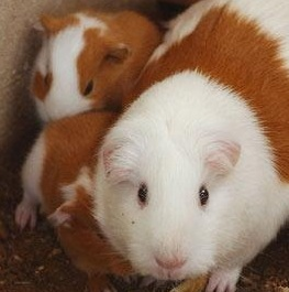 Guinea Pig Pregnancy Calculator
