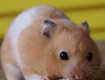 Hamster Pregnancy Calculator