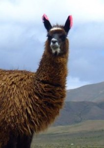 Llama Pregnancy Calculator