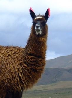 Llama Pregnancy Calculator