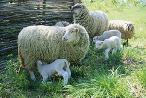 Sheep Pregnancy Calculator