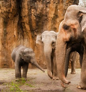 asian elephant gestation