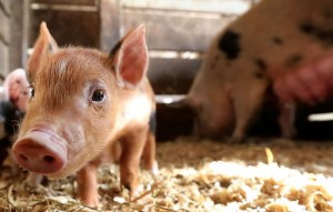 swine gestation calculator