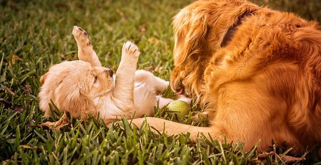 Golden Retriever Pregnancy Calendar Calculator